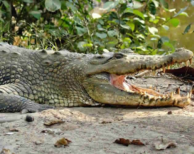 Bhitarkanika Crocodile Sanctuary